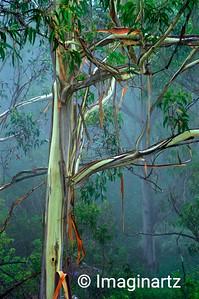 Australian Gum tree