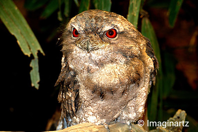 Mr Frogmouth Sees Red