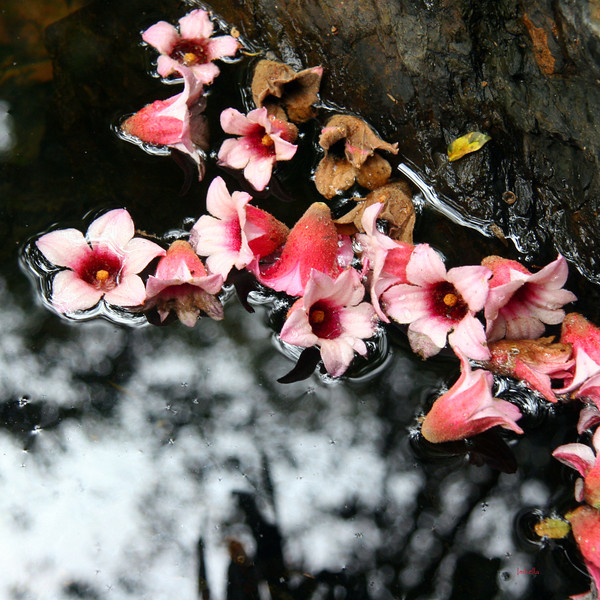 Yabba Flowers afloat on Yabba Creek