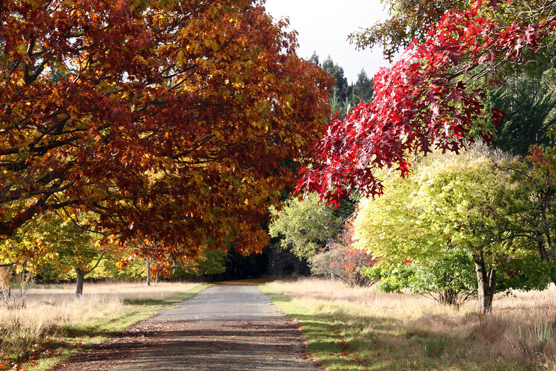 Glory of an Autumn Avenue