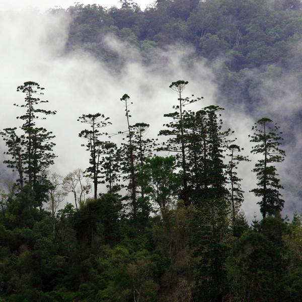 Princesses of the Forest: Hoop Pines towering above the Rainforest, Imbil, Australia