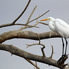 Great Egret at the Sonny Bono NWR