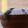 Gila Woodpecker at Cattle Call Park
