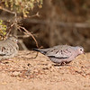 Common Ground Dove at the Sonny Bono NWR