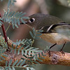Ruby-crowned Kinglet at the Sonny Bono NWR