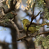 Orange-crowned Warbler at the Sonny Bono NWR