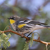 Yellow-rumped Warbler at the Sonny Bono NWR