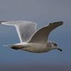 Ring-billed Gull in flight at the Sonny Bono NWR