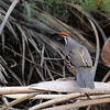 Gambel's Quail at Cattle Call Park