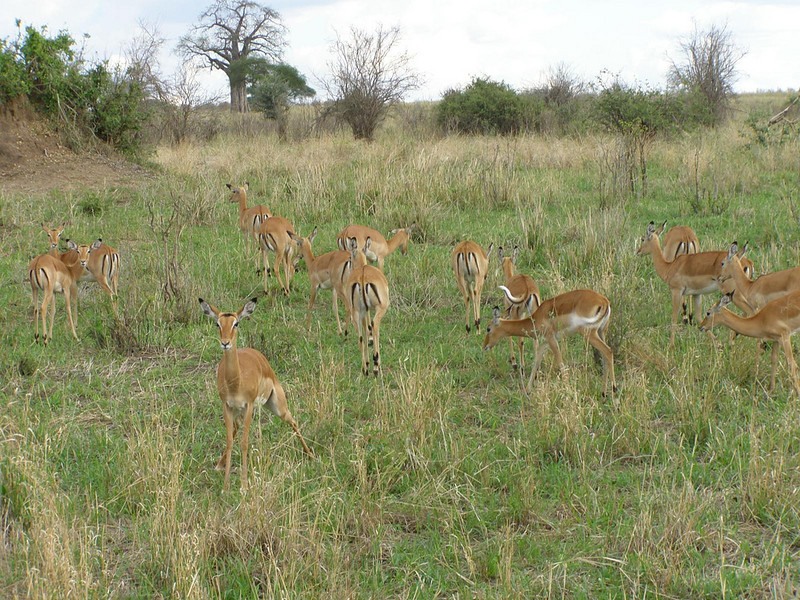 A group of Tomson's Gazelle's