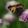 Aglais urtica on Allium schoenoprassium - Kleine vos op bieslook