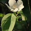 Cydonia oblonga - Kweepeer