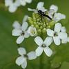 Bibio lanigerus ( or marci?)/Alliaria petiolata - Kleine rouwvlieg/look-zonder-look