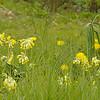 Bloemenweide met primulas