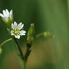 Cerastium fontanum subsp. vulgare - gewone hoornbloem