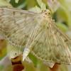 Epipactis helleborine - Pleuroptya ruralis