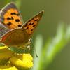 Lycaena phlaeas | Kleine vuurvlinder - Small copper4