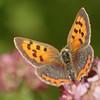 Lycaena phlaeas | Kleine vuurvlinder - Small copper
