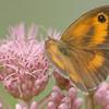 Pyronia tithonus | Oranje zandoogje - Gatekeeper