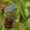 Polyomnatus icarus | Icarusblauwtje - Common blue