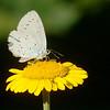 Celastrina argiolus | Boomblauwtje - Holy Blue