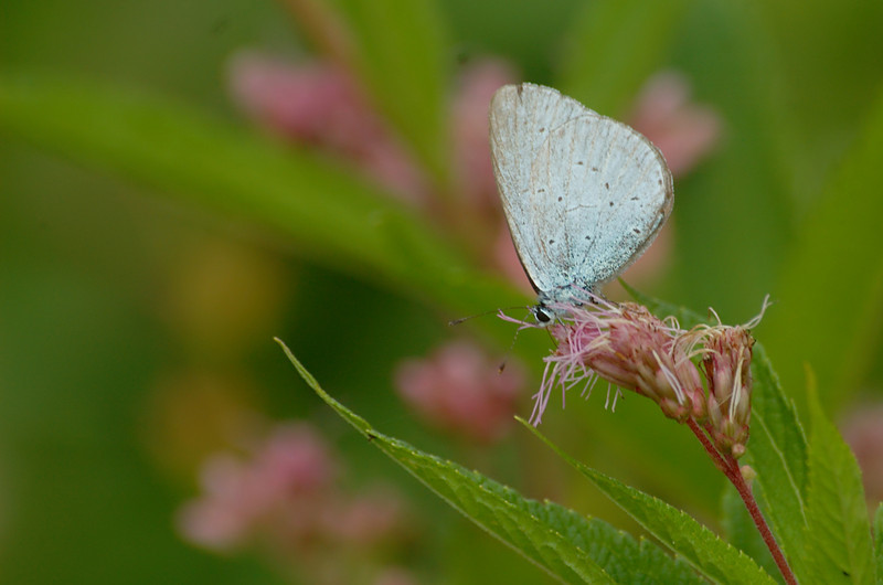 Celastrina argiolus | Boomblauwtje - Holly blue