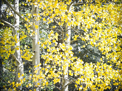 Painted Aspens