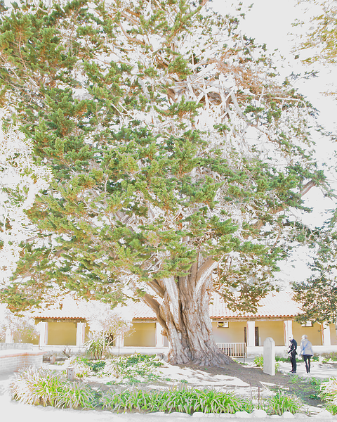 Cork Oak, Carmel Mission
