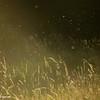Pollen over grasses