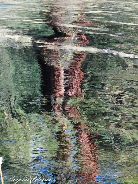 Redwood reflection