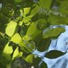 Dangling leaves