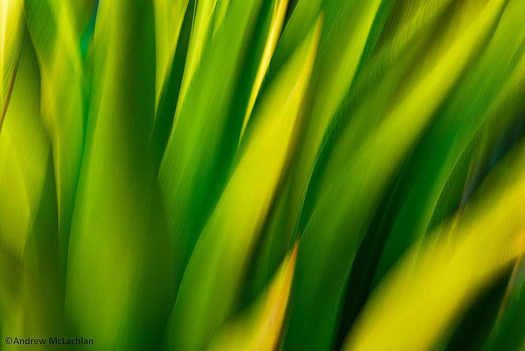 Agave Blur