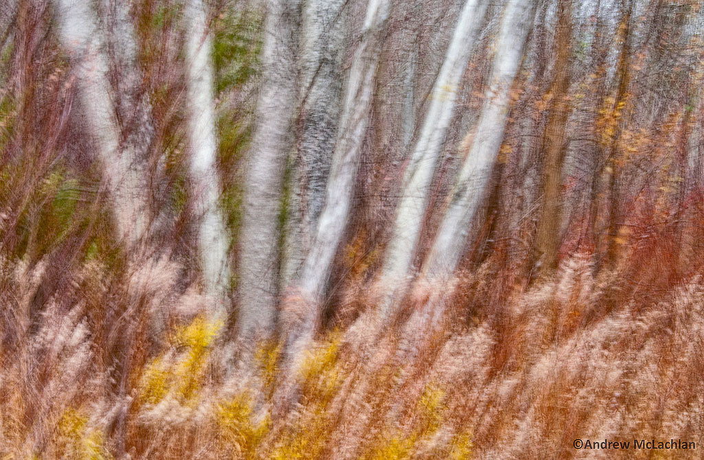 In-camera Blur of Aspen Trees