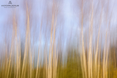 Birch Forest Pan Blur, Wawa, Ontario