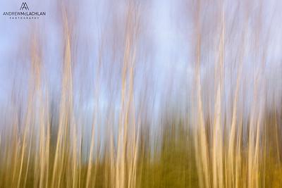 Birch Forest Pan Blur, Wawa, Ontario