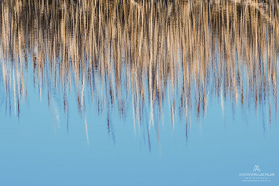 Cattail Reflections at Tiny Marsh Provincial Wildlife Area, Elmvale, Ontario, Canada