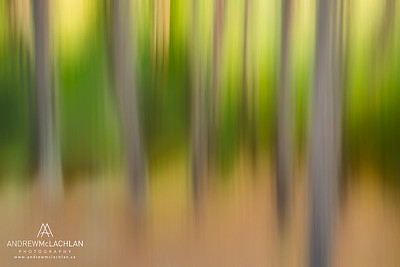 Impressionistic blur of evergreen forest, Algonquin Provincial Park, Ontario