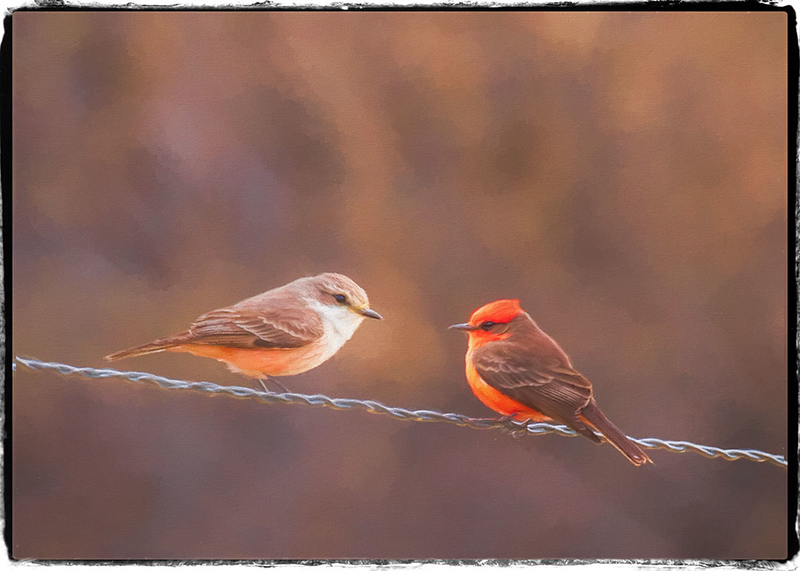 Vermillion Flycatchers