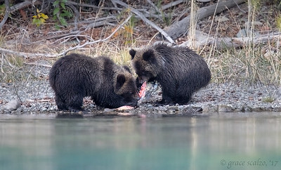 Grizzly bear cubs tugging at salmon