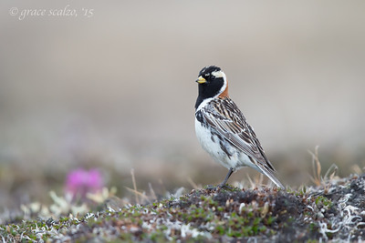 Lapland Longspur on the Tundra