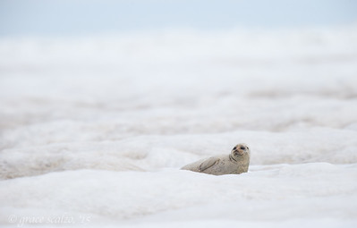Bearded Seal on the Chukchi Sea