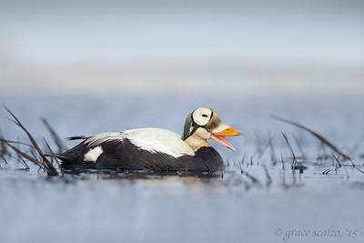 Spectacled Eider on Tundra Pond