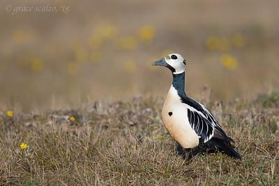 Steller's Eider Drake on Tundra