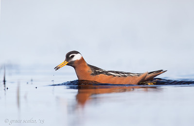 Red Phalarope with Mosquito