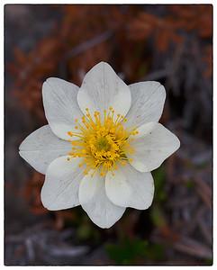 White Flower, Churchill, Canada, June 2014