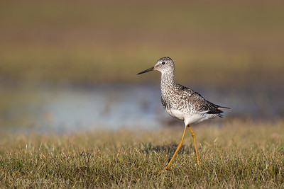 Lesser Yellowlegs, Churchill, Canada, June 2014