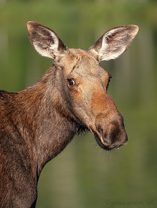Young moose portrait