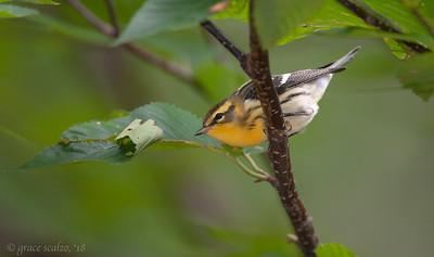 Blackburnian  Warbler (female)