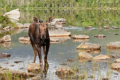 Moose in Sandy Stream Pond