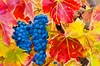 ART - Vineyard Impressions - Autumn #93 - 2012
